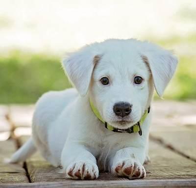 גור כלבים לבן