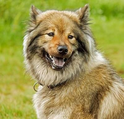 כלב חום